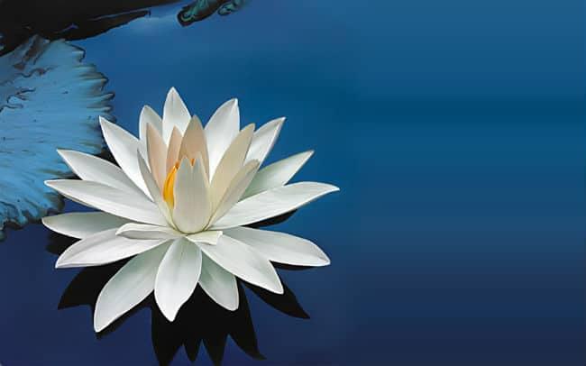 Hoa Sen Trắng có ý nghĩa đặc biệt trong Ấn Độ giáo