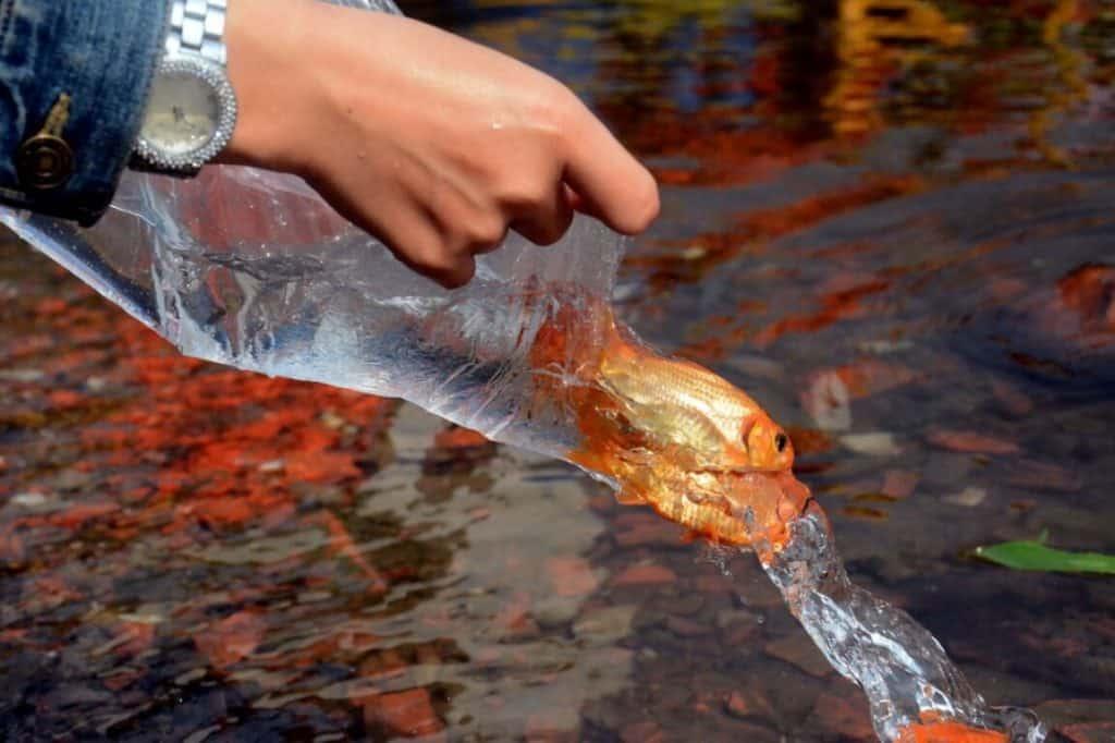 Rất nhiều Phật tử phóng sanh cá trong lễ Phật đản để cầu mong bình an