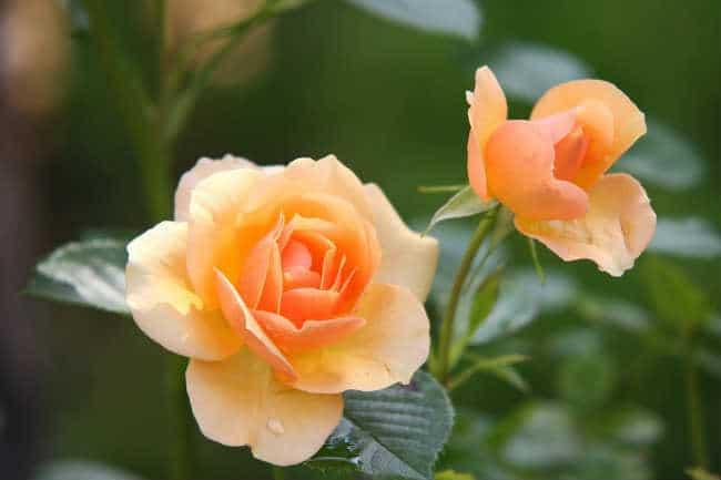 ý nghĩa của hoa hồng cam