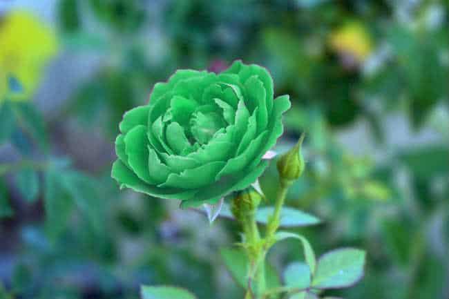 ý nghĩa của hoa hồng xanh lá cây