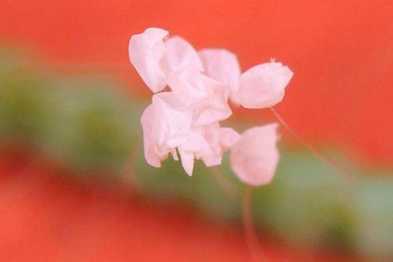 trứng côn trùng đã nở khiến nhiều người lầm tưởng là hoa Ưu Đàm
